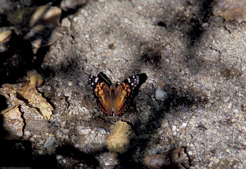 American Lady- Madera Canyon- SE Arizona- 8-31-2004_3