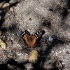 American Lady- Madera Canyon- SE Arizona- 8-31-2004_3