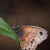 Pine Satyr_SE AZ_AZ-7294