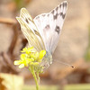 Checkered White_Ventura Co_CA-1591