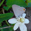 Gray Hairstreak_Rosarito_Baja Mexico-004