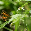 Pearl Crescent_Arkansas-3632