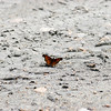 Satyr Comma_Exstew River_BC_Canada-1096-2