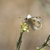 Northern-White-skipper-CA-9342