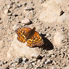 Checkerspot_New Idria_San Benito County_22May2012-5623