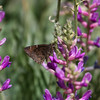 Northern Cloudywing_Chiricahua Mtns_AZ-2226-1-2