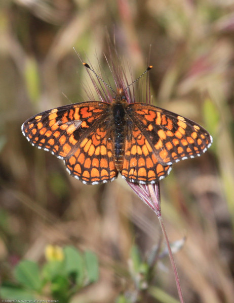 Gabb's Checkerspot_SisarCyn_Ventura Co_CA-0343