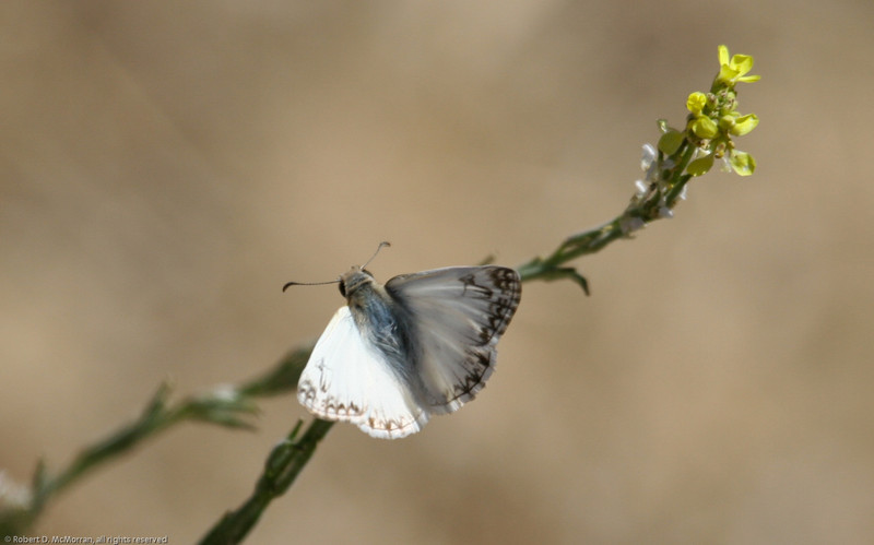 Northern-White-skipper-CA-9340