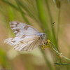 Checkered White- VenCo_CA_6049
