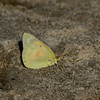 Orange Sulphur_SCRE_Ventura Co_CA-003
