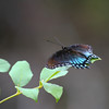 Black Swallowtail_Ft Huachuca_AZ-3327