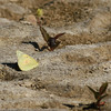 Orange Sulphur_SCRE_Ventura Co_CA-001