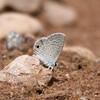 Ceraunus Blue_Chiricahua NM_AZ-1 2170