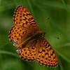 Fritilllary G_Beatton Provincial Park_BC_Canada-157