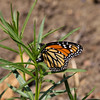 Monarch-Ventura_VenCo_CA-0162-2
