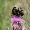 Palamedes Swallowtail- RioGV_TX- 574