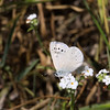 Silvery Blue_SisarCyn_Ventura Co_CA-0363