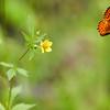 Fritillary_Beatton Provincial Park_BC_Canada-232