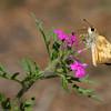 Skipper_Chiricahua Mtns_AZ-2336-1
