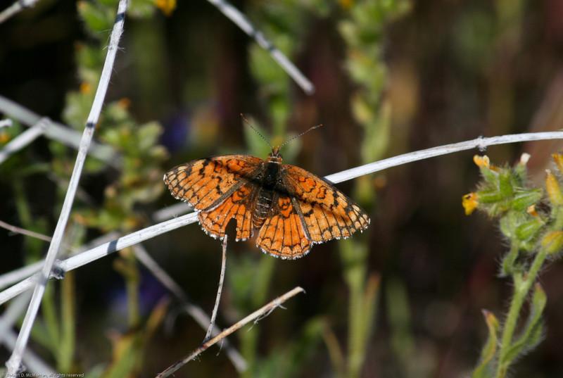 Sagebrush Checkerspot_Cuddeback Dry Lake_San Bernardino Co_CA-766