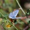 Silvery Blue- Ojai_CA 4962