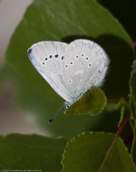 Silvery Blue_ButterbredtSpring_KernCo_CA-1846