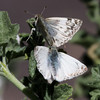 Northern White-Skipper_Chuchupate_VenturaCo_CA-000079