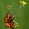 Fritillary_Beatton Provincial Park_BC_Canada-236