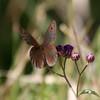 Butterfly_Mpala_Kenya-5708