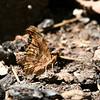 Satyr Comma_Chiricahua Mtns_AZ 2211