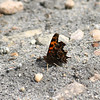 Satyr Comma_Exstew River_BC_Canada-1098