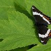 Red-spotted Admiral-white form_Beatton Provincial Park_BC_Canada-137