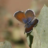 Western Pygmy-Blue_Emma Wood SB_Ventura_Ventura Co_CA-3902