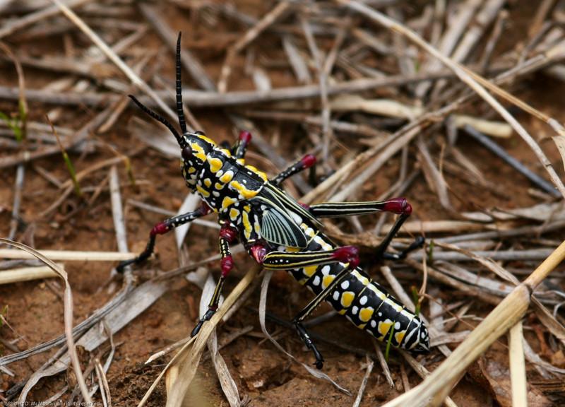 Locust_Mpala_Kenya-9189