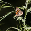 Painted Lady- VenCo_CA_6148-2