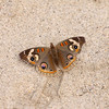 Common Buckeye_Santa Clara River Estuary_Ventura Co_CA-1602-2
