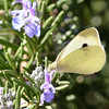 Cabbage White_Ventura_Ventura Co_CA-052