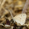 Common-Ringlet-CA-9398
