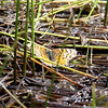 Checkerspot_Chuchupate_Ventura Co_CA-000076