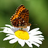 Purplish Fritillary_Maxan Lk_British Columbia_Canada-723