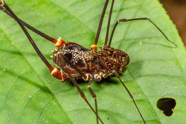 harvestman (Opiliones, Cranaidae). Gareno Amazon, Napo, Ecuador