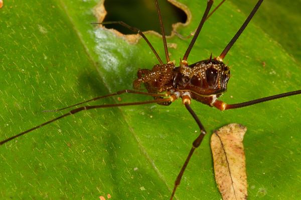 harvestman (Opiliones, Cranaidae). Gareno Amazon, Napo Ecuador
