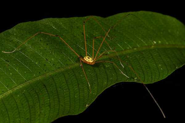 harvestman, Simambea sp. (Cosmetidae). Bates trail, Shiripuno, Orellana Ecuador
