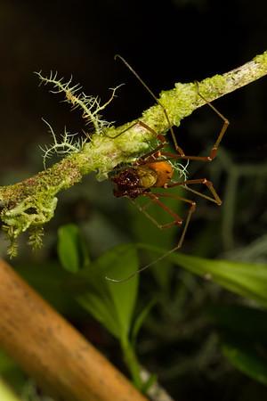 harvestman (Opiliones, Cranaidae). Yanayacu San Isidro Stream Trail, Cosanga, Napo Ecuador