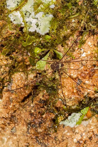 harvestman (Opiliones, Cosmetidae). Gareno Amazon, Napo Ecuador