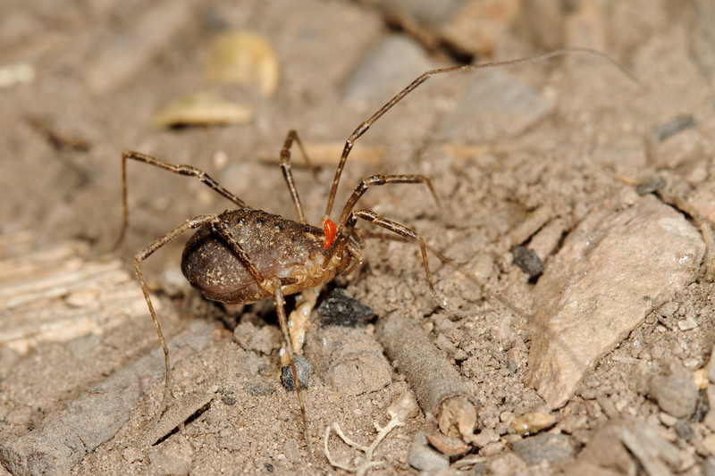 harvestman (Opiliones) with mites. Chiricahua Mountains, Cochise Co., Arizona USA