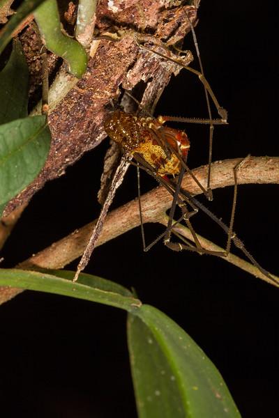 harvestman (Opiliones, Cranaidae). EO Wilson trail, Shiripuno, Orellana Ecuador