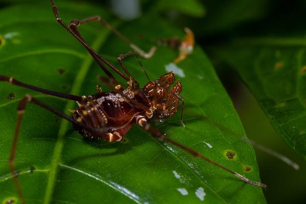 harvestman (Opiliones, Cranaidae). Jatun Sacha Estacion Biologica, Napo Ecuador