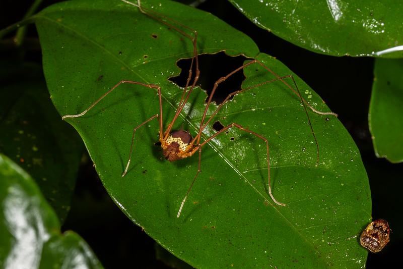 harvestman, Flirtea sp. (Opiliones, Cosmetidae). EO Wilson trail, Shiripuno, Orellana Ecuador
