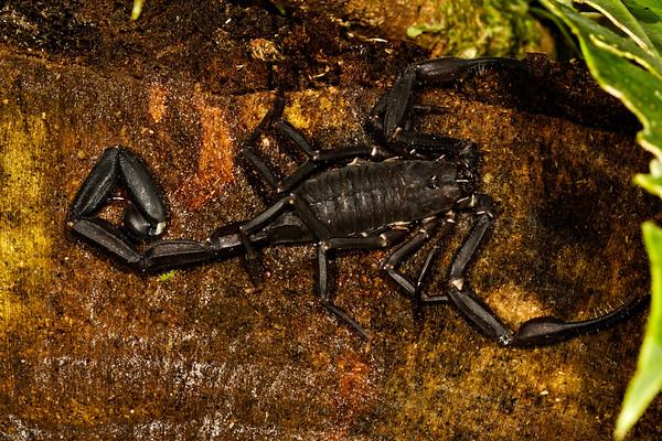 scorpion. Gareno Amazon, Napo, Ecuador